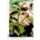 Good Nature - UŇA DE GATO, známa tiež ako Vilcacora, čaj