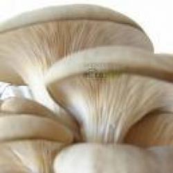 Good Nature - HLIVA USTRICOVÁ- 90 tabliet po 500 mg sušenej hlivy ustricovej