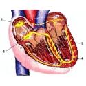 Krv, srdce a obehový systém